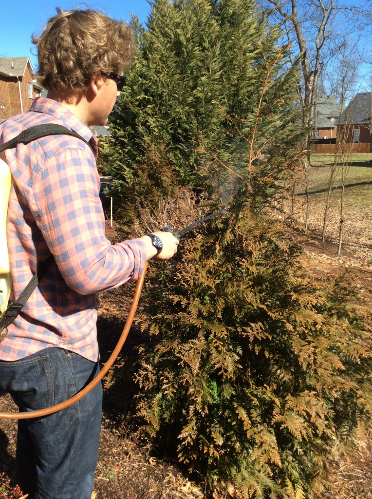 Apply hort. oil in Feb-March to your evergreens to kill pest eggs.