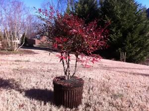 Nandina domestica Transplant. Plant nandina for Christmas berries.