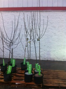 Fruit trees for sale. Notice the plant ID tag. Very important to read before purchase.