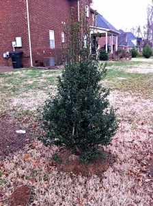 This holly will need TLC for two years to reach full establishment