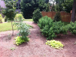 Volunteer cherry tomatoes with Margarite Sweet Potato Vine under Hyperion Dogwood. Limelight Hydrangea group on right.