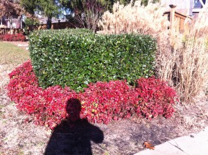 Red Firepower Nandina, Chinese holly, and Miscanthus grass.