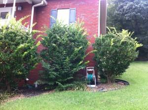 Ligustrum shrubs need pruning.