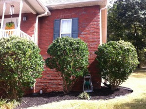 Ligustrum shrubs look nice and neat after pruning.