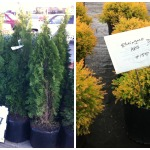 Step 4 – Purchasing Plants – Where to Buy Nursery Trees and Shrubs on a Budget
