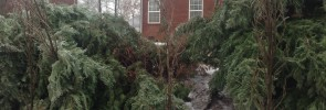 This leyland cypress tree failed due to poor branching structure and a bad install job.